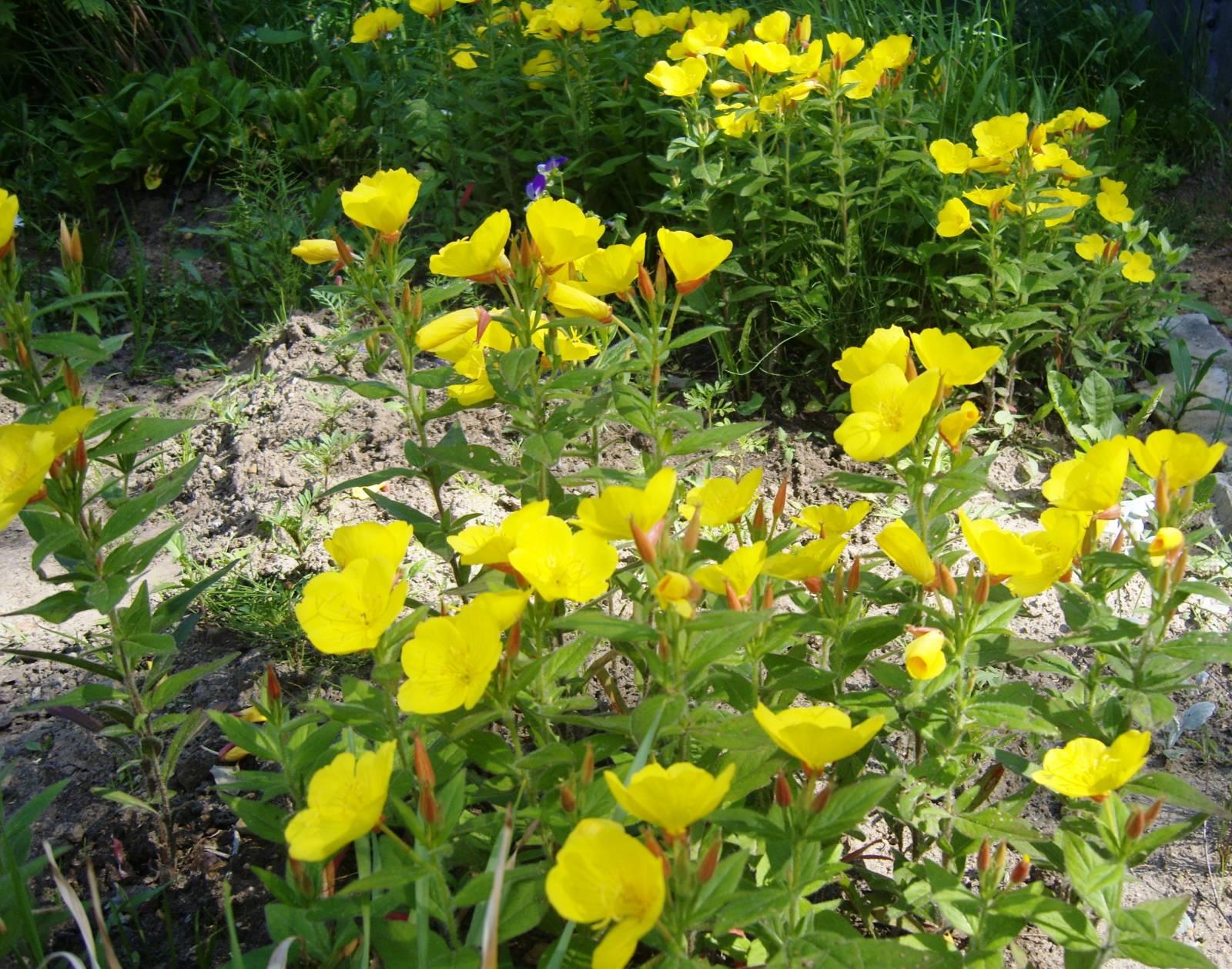 Энотера многолетняя желтая фото выращивание